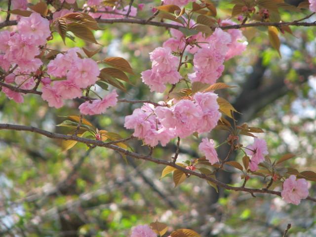 Sakura am Yasukuni-Schrein (c) Erika Köllmann